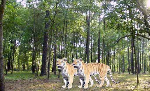 tigers in hazaribagh national park