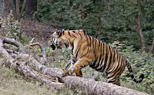 Rayal Bengal Tiger