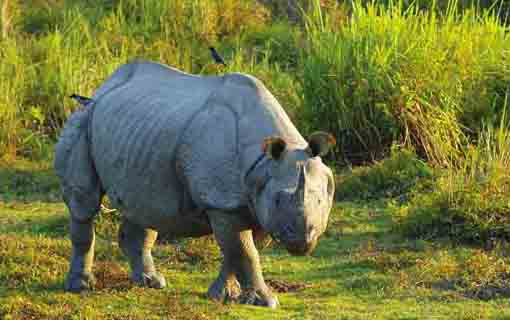 one-horned rhinoceros in jaldapara national park